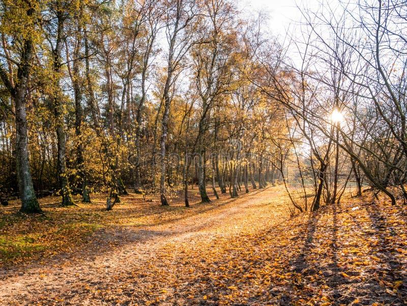 Sun que brilha através das árvores no trajeto com as folhas caídas no aut atrasado imagem de stock royalty free