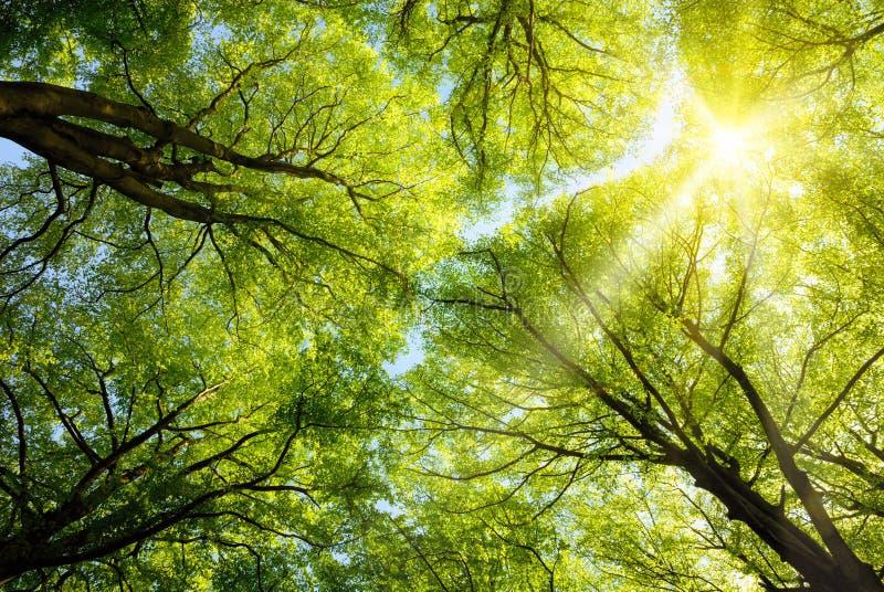 Sun que brilha através das copas de árvore foto de stock royalty free