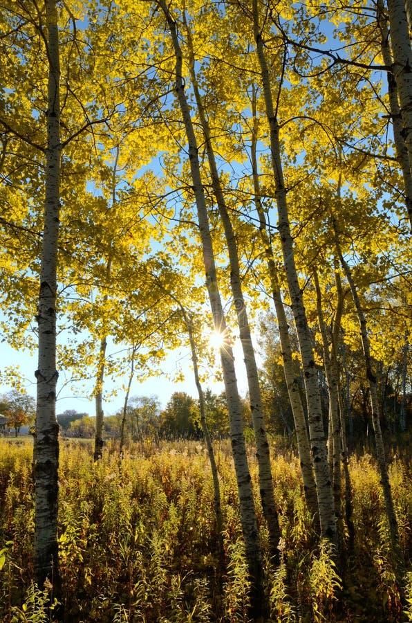 The Sun que brilha através de Aspen Trees na queda fotografia de stock