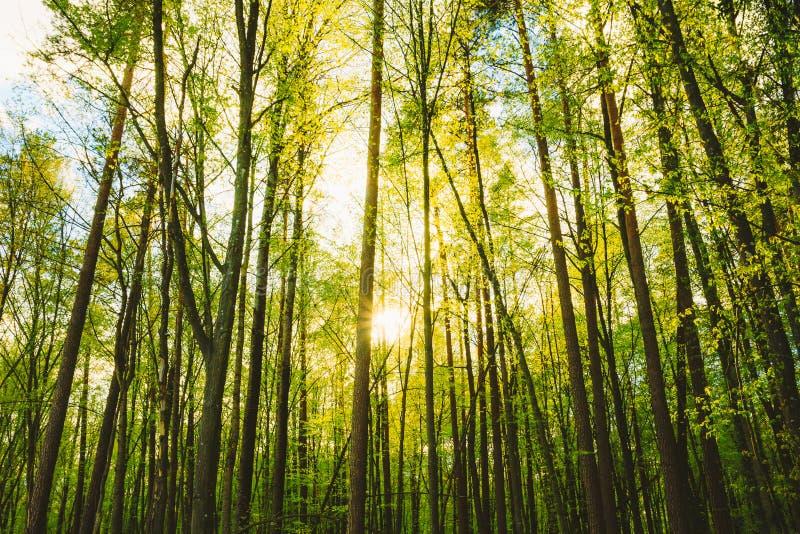 Sun que brilha através dos troncos de madeiras das árvores altas em Forest In European Part Of Rússia imagem de stock