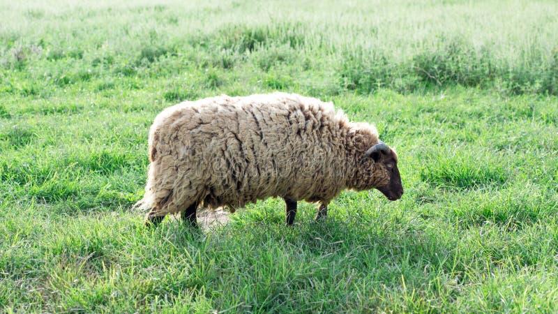 Sun que brilha nas lãs de carneiros de Shetland imagem de stock