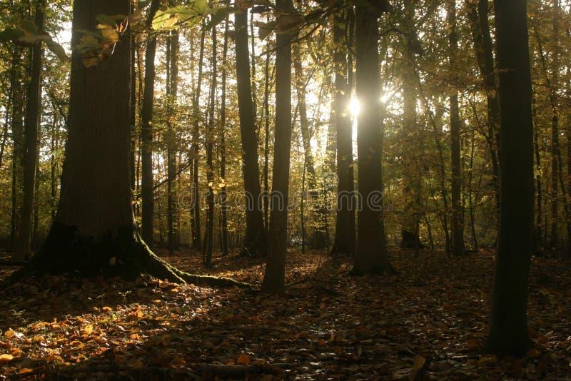 Sun que brilla a trav?s de las hojas de oto?o en bosque de hojas caducas hermoso imagen de archivo