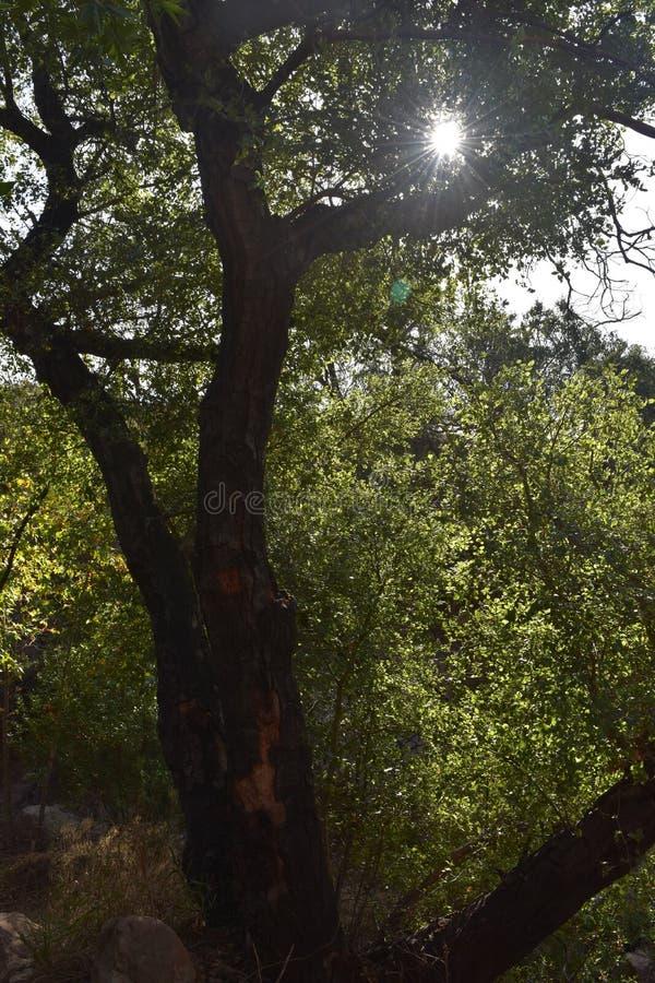 Sun que brilla a través de las hojas de un árbol quemado fotos de archivo