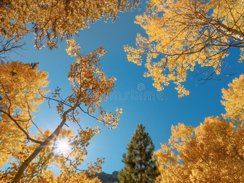 Sun que brilla a través de los árboles coloreados caída del álamo temblón en las montañas imagenes de archivo