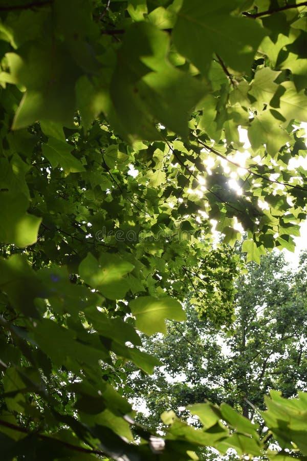 Sun que brilla a través de ramas de árbol foto de archivo