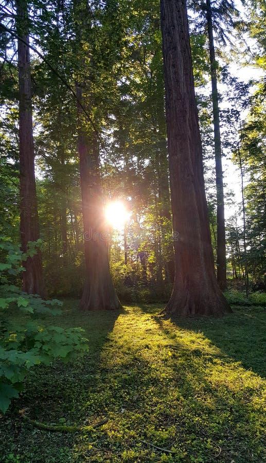 Sun que brilla a través de troncos medios del árbol del verdor imagen de archivo libre de regalías