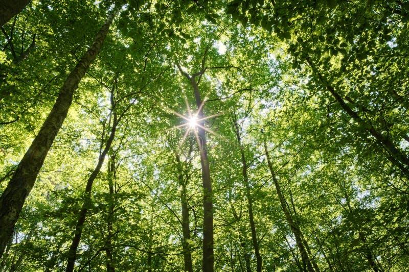 Sun que brilla a través del toldo de bosque de la haya fotografía de archivo libre de regalías