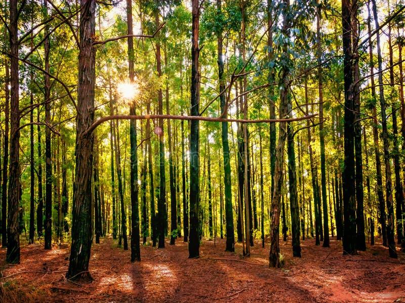 Sun que mira furtivamente a través de los árboles en el bosque fotos de archivo