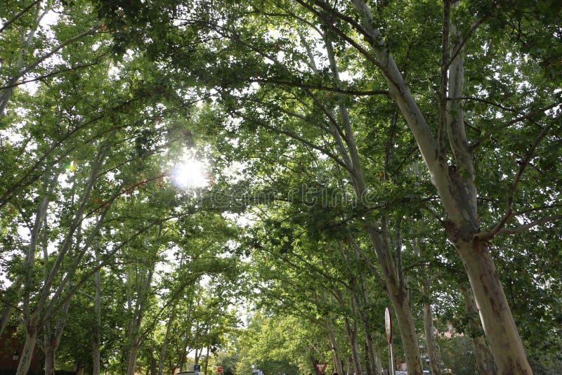 Sun que repica através das árvores verdes imagens de stock royalty free
