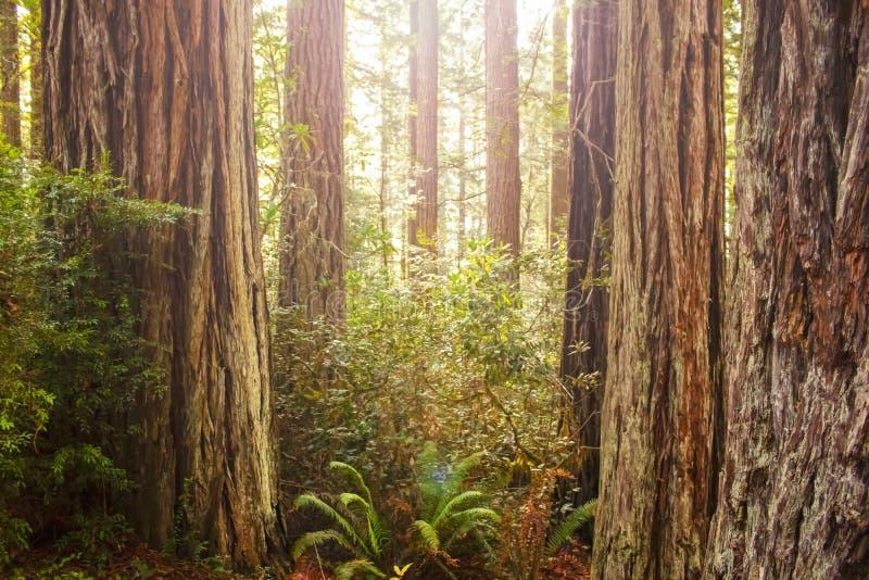 Sun que shinning através do dossel em uma floresta antiga da sequoia vermelha com os troncos das árvores e das samambaias - alarg fotos de stock royalty free