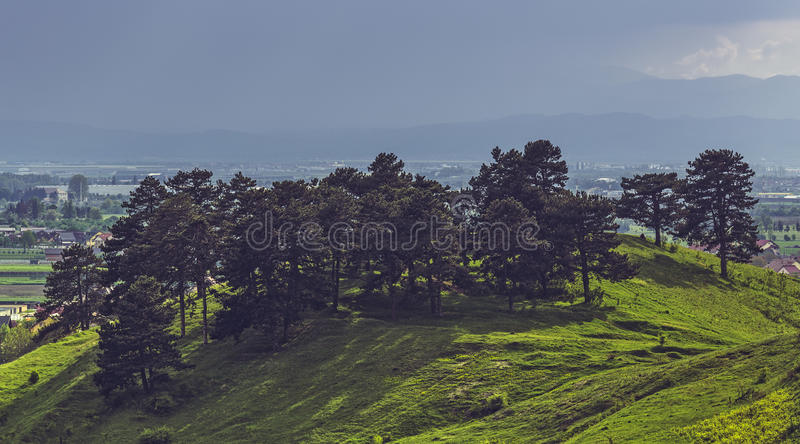 Sun and rain. Sunlight over a clump of conifer trees on top of the Lempes Hill, near Sanpetru city, Romania and heavy pouring rain showers, cloudburst in the royalty free stock photo