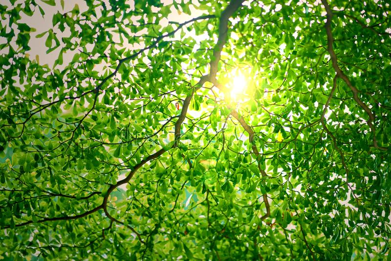 Sun ray or light behind the branches of green leaves or foliage. Tree stock photography