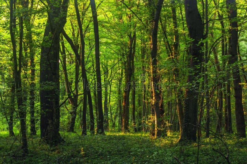Sun rayonne par les branches d'arbres épaisses dans la forêt verte dense photographie stock libre de droits
