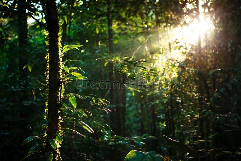 Sun rayonne profondément dans la forêt tropicale images libres de droits