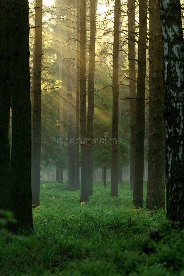 Sun rays. The sun beams streaming through trees royalty free stock photography
