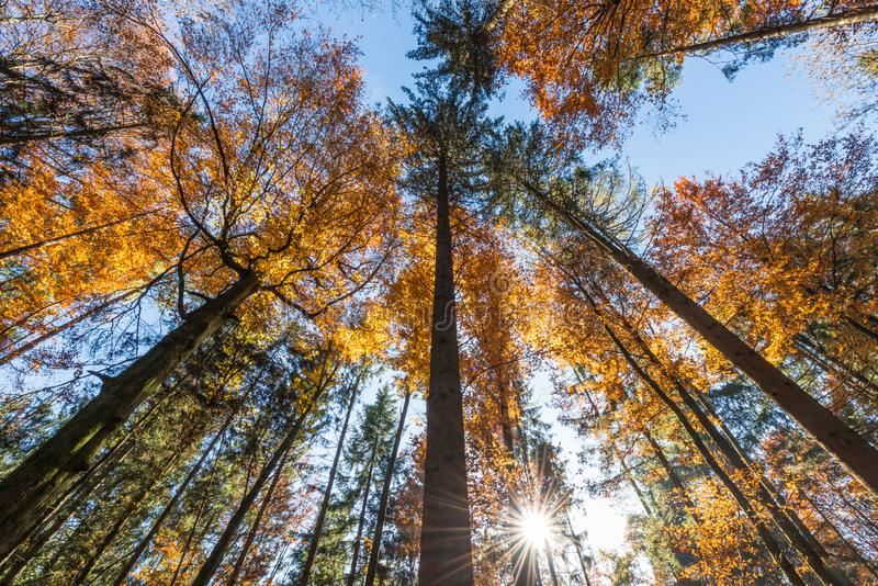 Sun rays between branches and fall foliage. Autumn royalty free stock image
