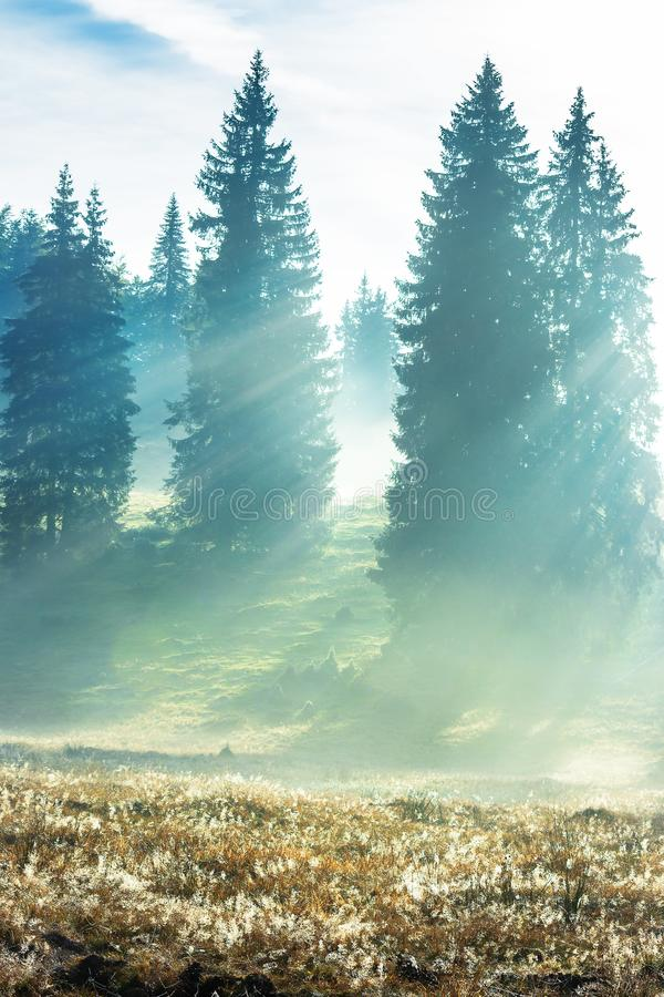 Sun rays breaking through the fog in spruce forest stock image