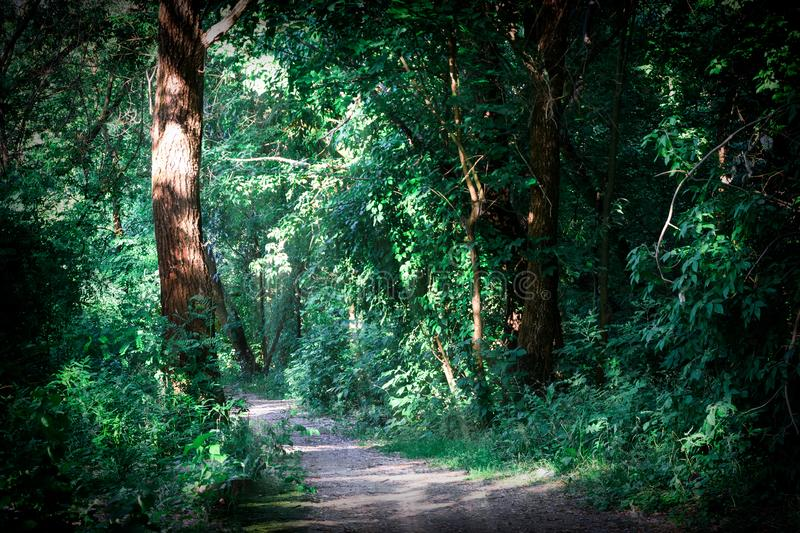 Sun rays coming through the trees in a beautiful summer green forest royalty free stock photo