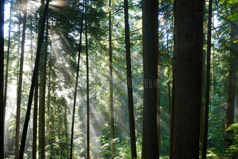 Sun rays crossing a misty fore. St in lynn valley park stock photography