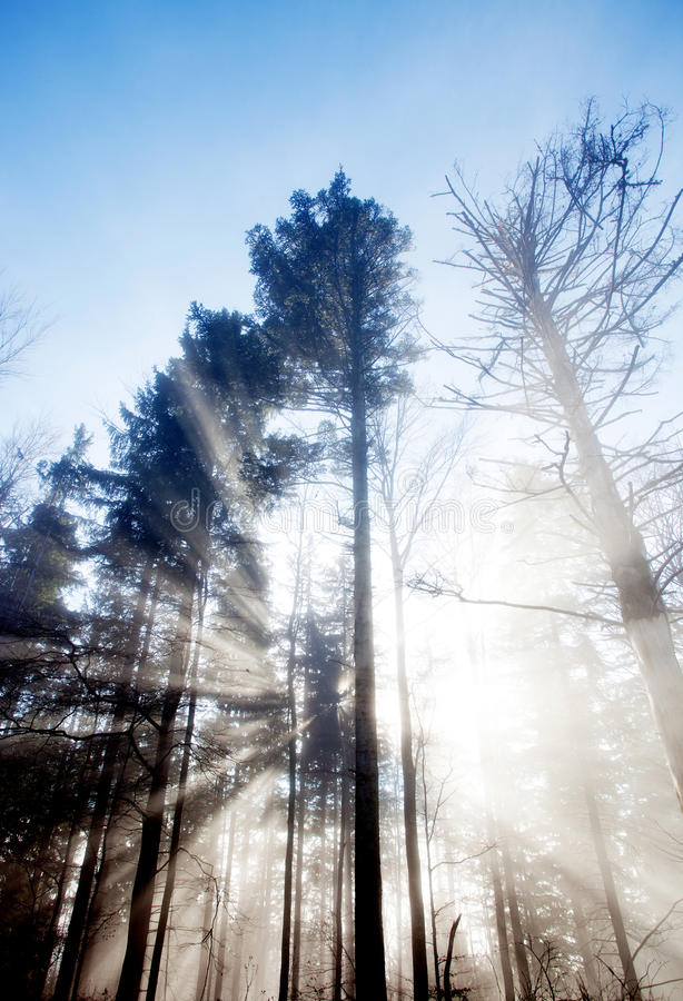 Sun rays crossing a misty forest. In black forest royalty free stock image