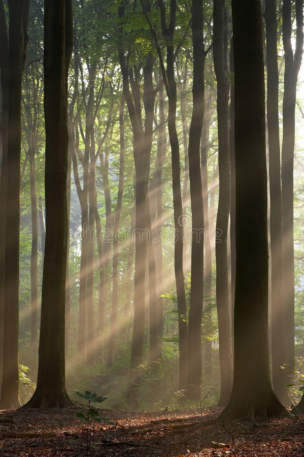 Sun rays crossing a misty forest photographed in an early autumn morning. stock image