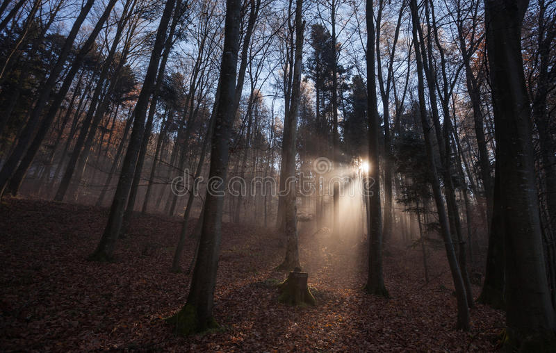 Sun rays crossing misty forest. In winter royalty free stock image