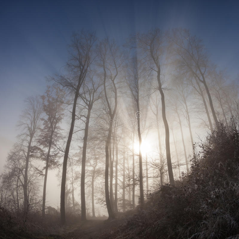 Sun rays crossing misty forest. In winter stock photo