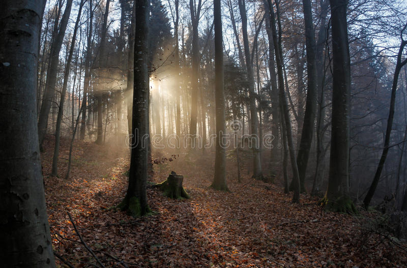 Sun rays crossing misty forest. In winter royalty free stock photo