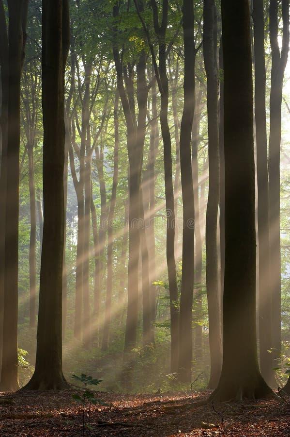 Sun rays, einen nebelhaften Wald kreuzend, der in einem frühen Herbstmorgen fotografiert wird. stockbild