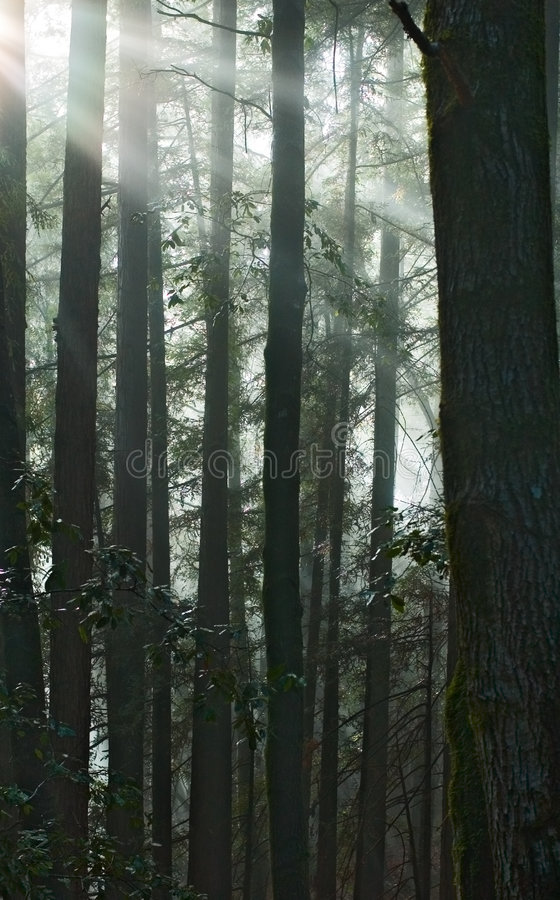 Download Sun Rays Fall Into The Redwood Forest Stock Photo - Image: 389060