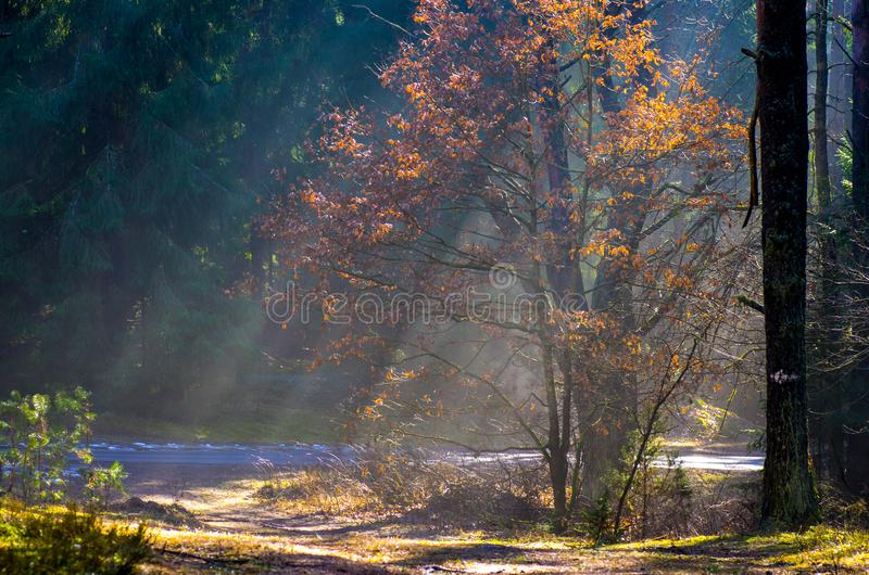 Sun rays in foggy forest royalty free stock photo