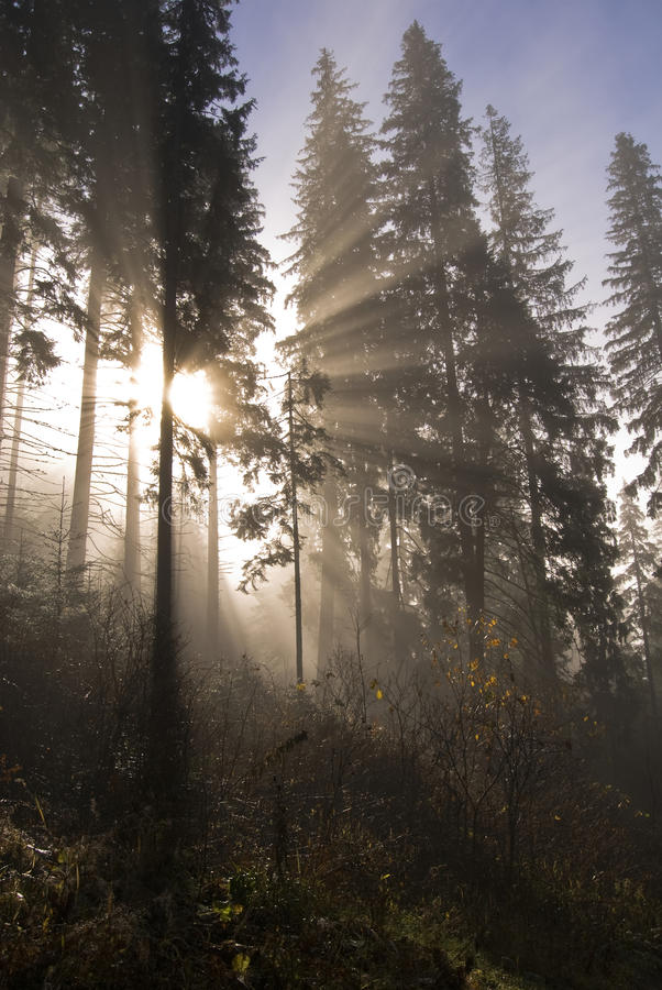 Sun rays in a forest royalty free stock photos