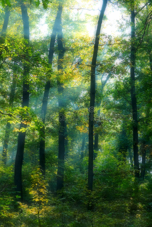 Sun rays in a forest. Sun rays behind trees in a forest royalty free stock photography
