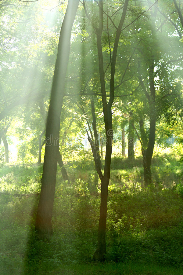 Sun rays in forest. Sun rays crossing misty forest in an early morning royalty free stock photography