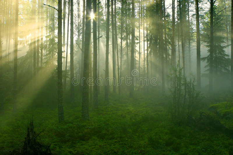 Sun rays in the forest. Sun rays crossing a misty forest photographed in an early summer morning stock photos