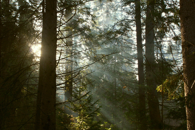 Sun rays in the forest. Sun rays crossing a misty forest photographed in an early summer morning royalty free stock photos