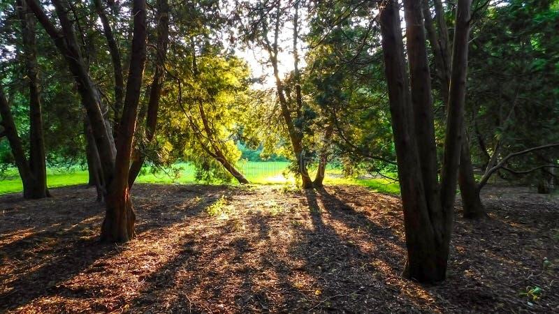 Sun Rays Through Forest. On A Beautiful Day, Morton Arboretum Lisle IL USA stock photography