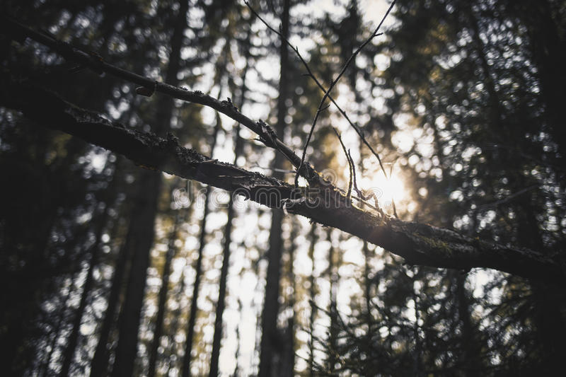 Sun rays in a forest royalty free stock photo