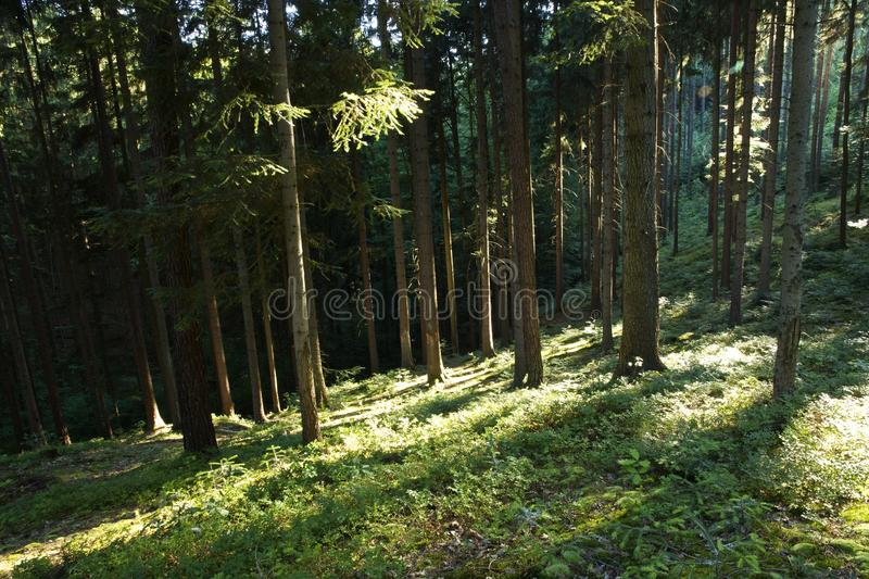 Sun rays in forest stock photography