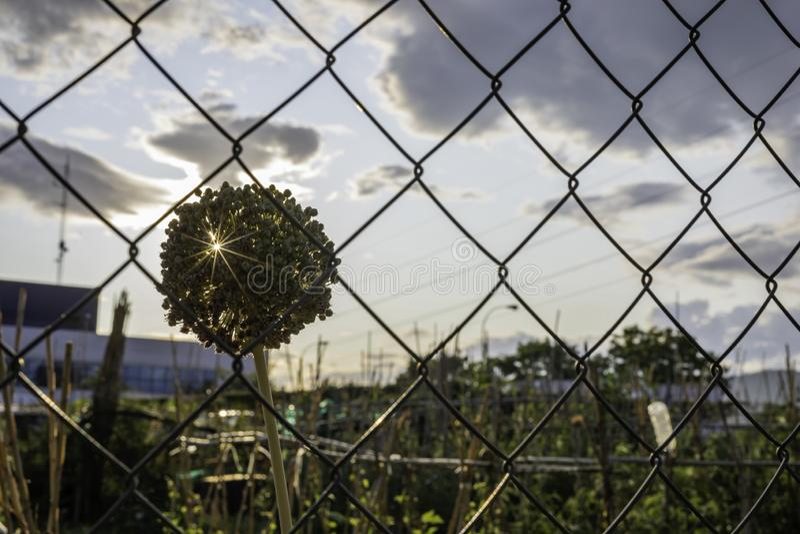 Sun rays through a garlic flower seen through a metal wire fence stock photo