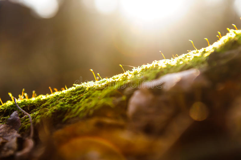 Sun rays on green moss against the background of the forest, flash lighting effect royalty free stock image