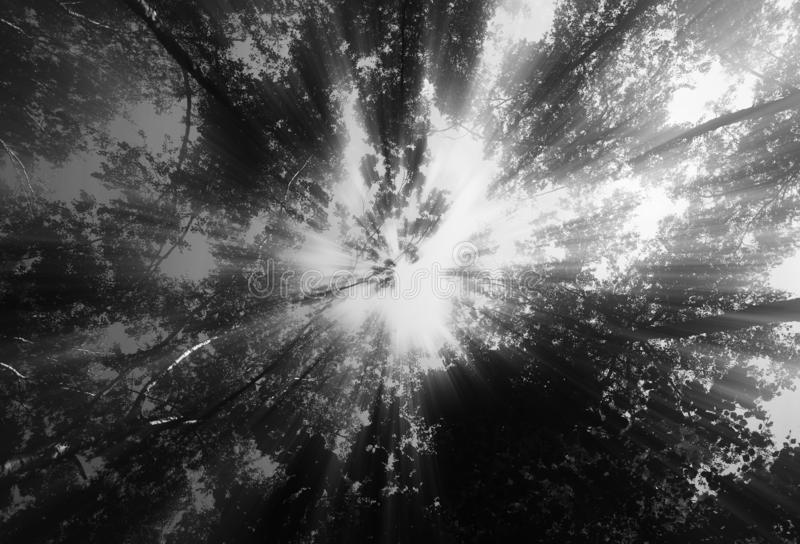 Sun rays over black and white forest background stock photo