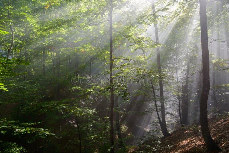 Sun rays penetrating forest stock photos