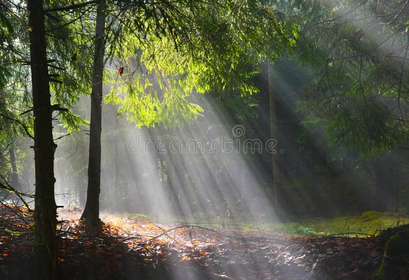 Sun rays shining through the trees in the conifer forest. stock image