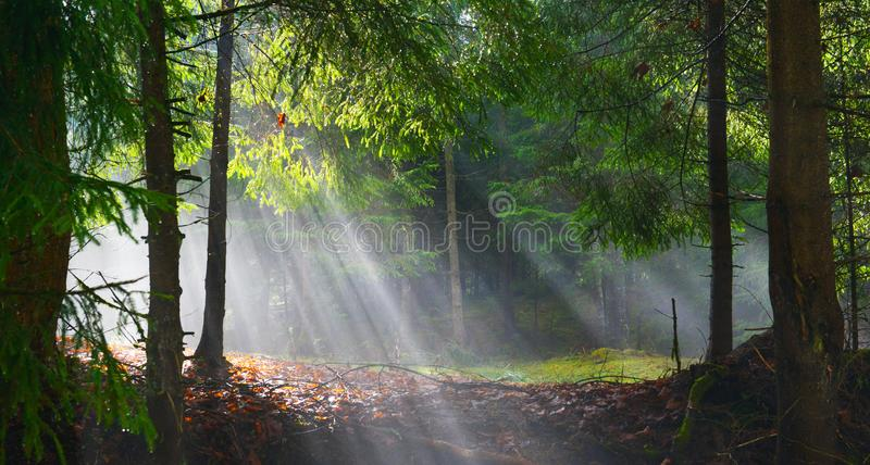 Sun rays shining through the trees in the conifer forest. royalty free stock photo