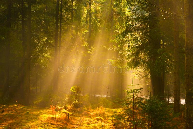 Sun rays shining through the trees in the conifer forest. stock images