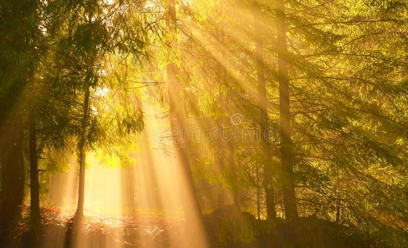 Sun rays shining through the trees in the conifer forest. royalty free stock image
