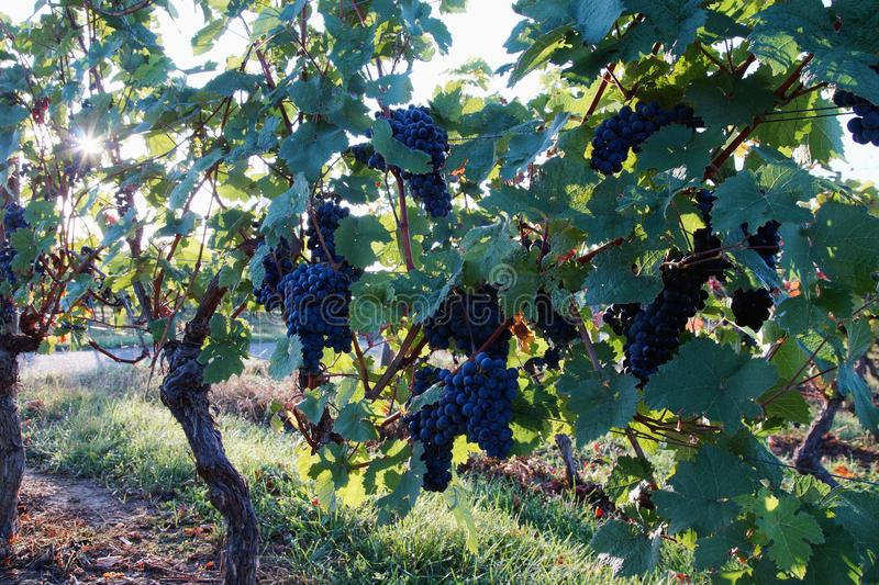 Sun rays shining through wine grapes and leaves. Ripe grapes in fall. Bunches of red wine grapes on vine. stock photos
