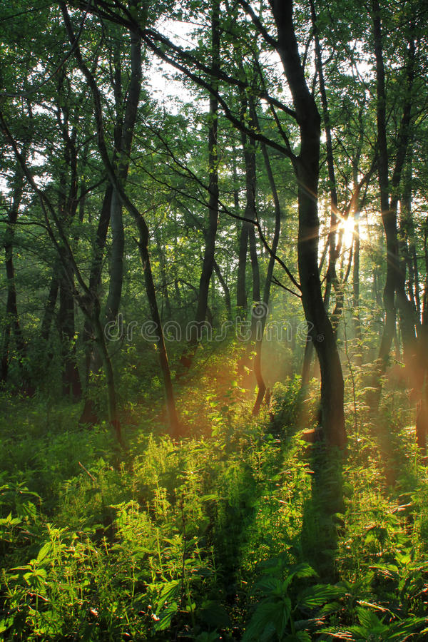 Download Sun rays in spring forest stock photo. Image of orange - 18710058