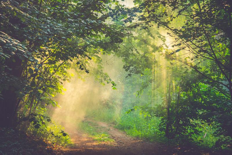 Sun rays of sunrise in a fog. In deep green forest royalty free stock photography